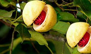 Nutmeg Crop
